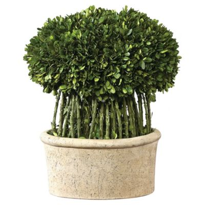 Preserved Boxwood & Willow Topiary